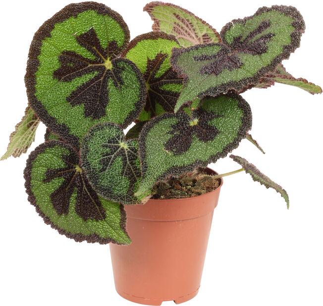 Begonia, Höjd 30 cm, Grön