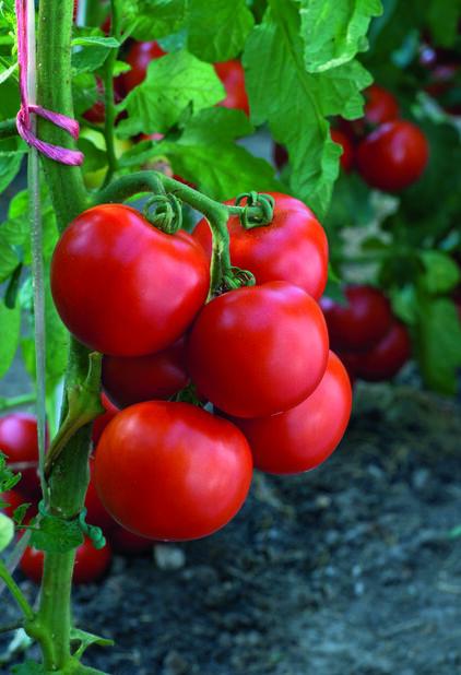 Tomat 'Torino', Ø10.5 cm, Röd