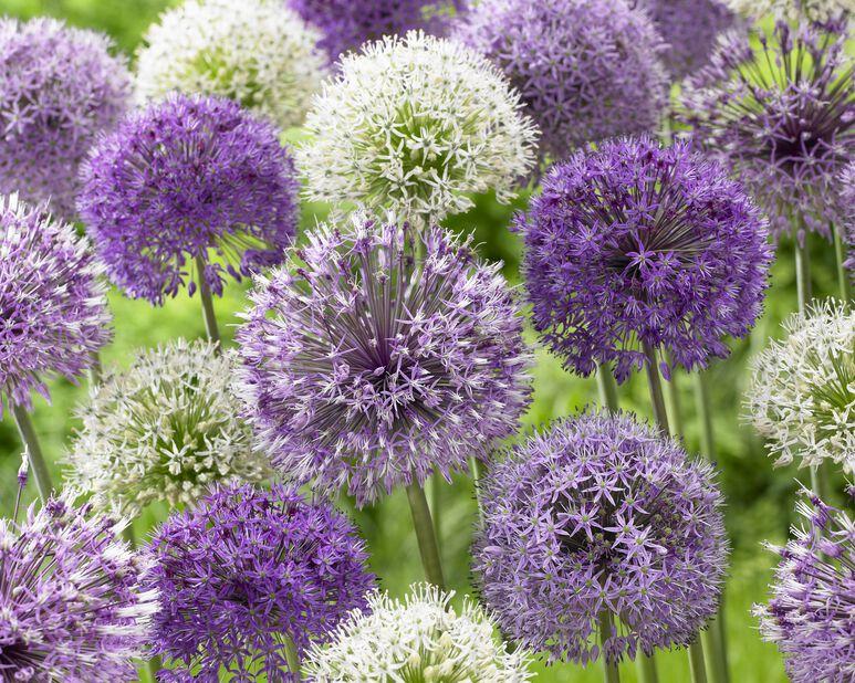 Allium mix, Flerfärgad