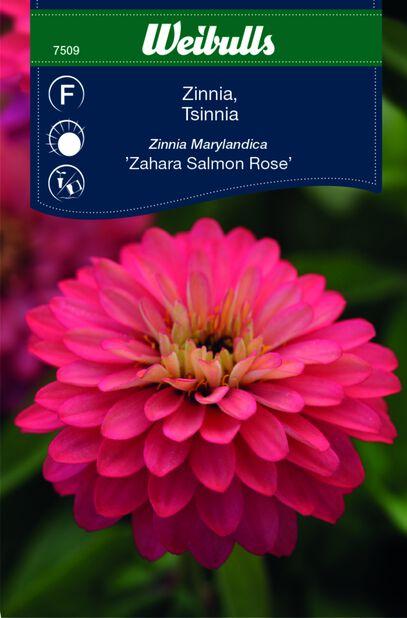 Zinnia 'Sahara Salmon Rose'