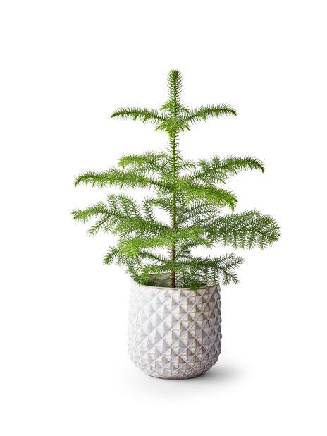 Rumsgran, Höjd 40 cm, Grön
