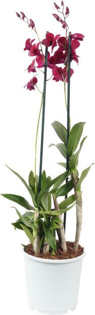 Dendrobium 'Sa-Nook', Höjd 80 cm, Flera färger