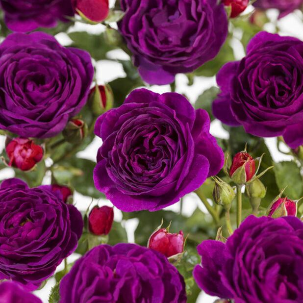 Klasblommig ros ´Minerva´ på stam, Höjd 70-90 cm, Lila