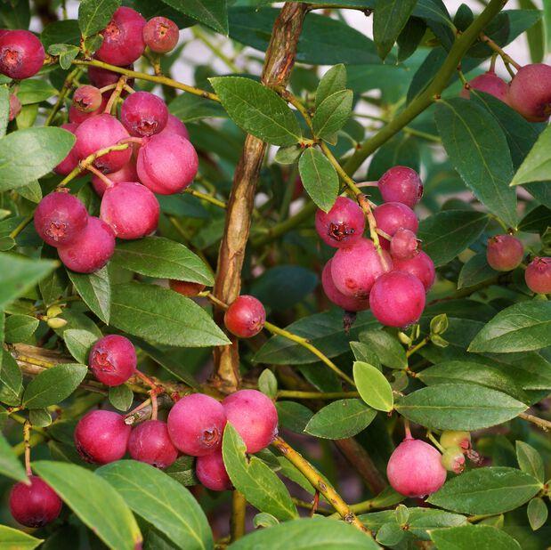 Amerikanskt blåbär 'Pink Marmalade', Ø12 cm, Blå