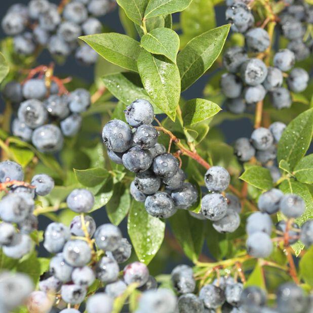 Amerikanskt blåbär 'Blue Crop', Höjd 60 cm, Blå