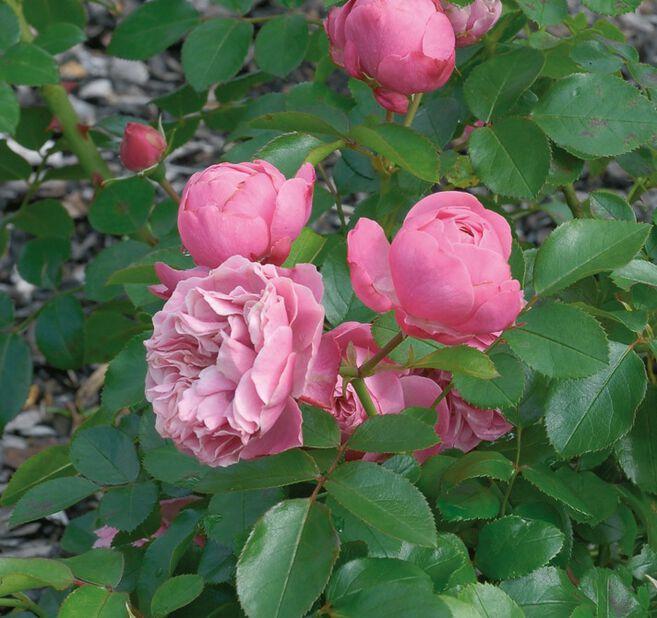 Leonardo da Vinci - Klasblommig ros