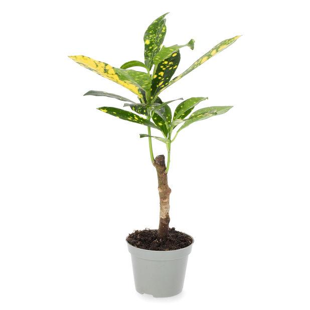 Kroton 'Aucubaefolia' mini, Höjd 10 cm, Grön
