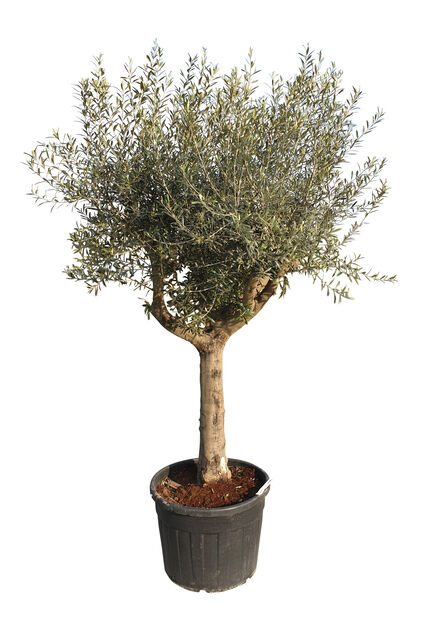 Olivträd, Höjd 300 cm, Grå