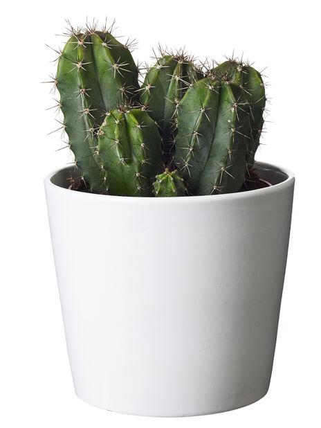 Kaktus, Höjd 25 cm, Grön