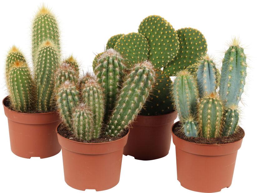 Kaktus uprättväxande, Höjd 25 cm, Grön