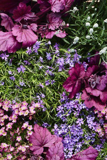 Lönnalunrot 'Palace Purple' , 6-pack, Röd
