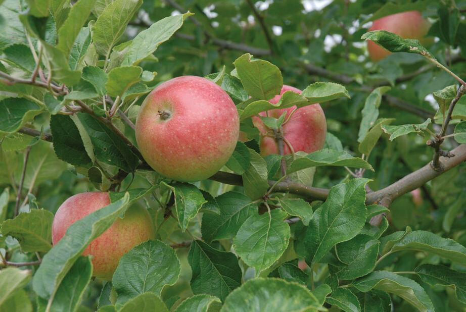 Äpple 'Aroma', Höjd 200 cm, Röd