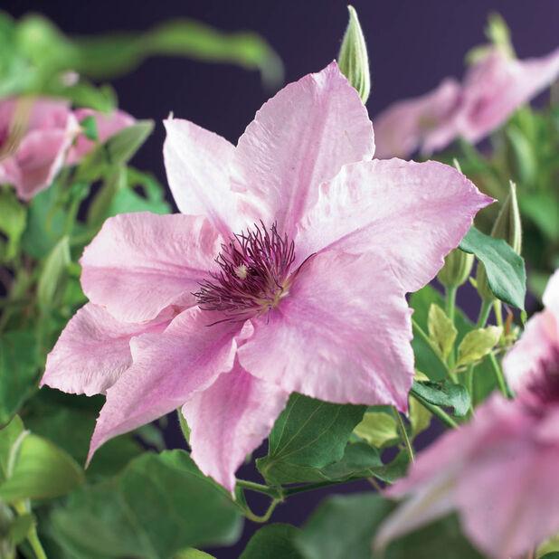 Sen storblommig klematis 'Pink Fantasy' på torn, Ø21 cm, Rosa