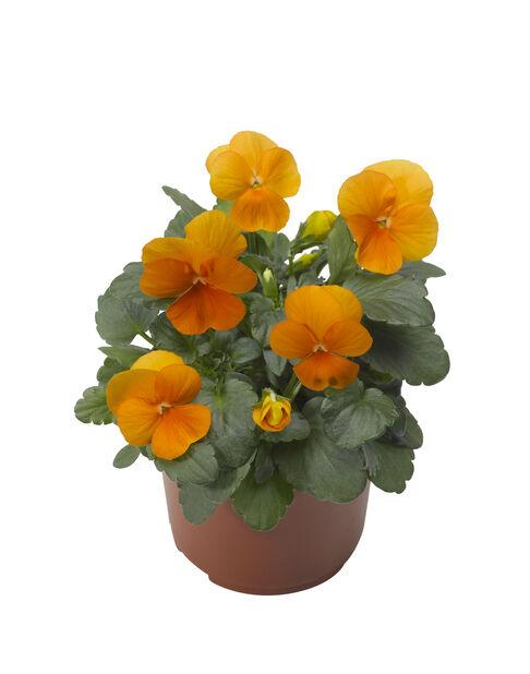 Viola small fl. Yellow/Orange 12 cm
