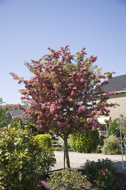 Rosenhagtorn 'Paul´s Scarlet', Höjd 140 cm, Röd