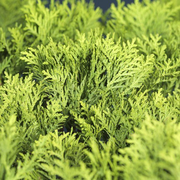 Klottuja, Höjd 40 cm, Grön