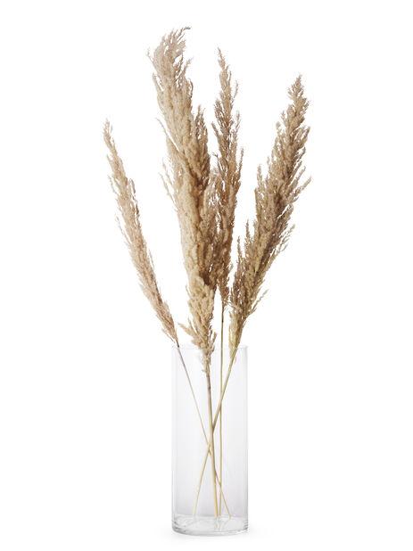 Pampasgräs , Höjd 50 cm, Vit