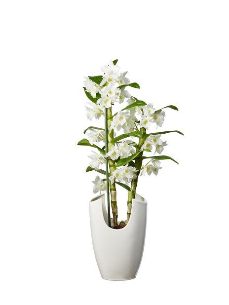 Dendrobium 'Apollon', Höjd 50 cm, Vit