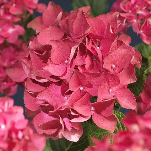 Trädgårdshortensia, Höjd 45 cm, Röd