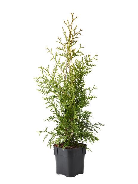 Tuja 'Brabant', Höjd 80-100 cm, Grön