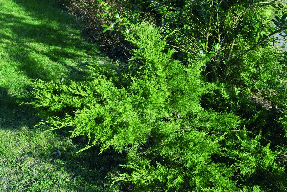 Trädgårds-en 'Mint Julep', Ø22 cm, Grön
