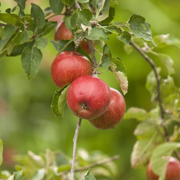 Äpple 'Rubinola' , Höjd 150 cm, Röd