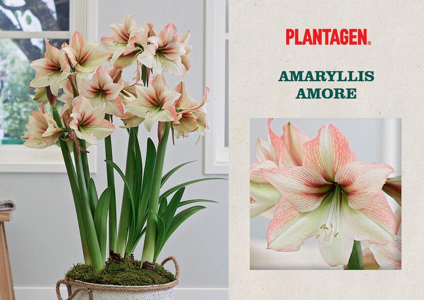 Amaryllis 'Amore', Flerfärgad