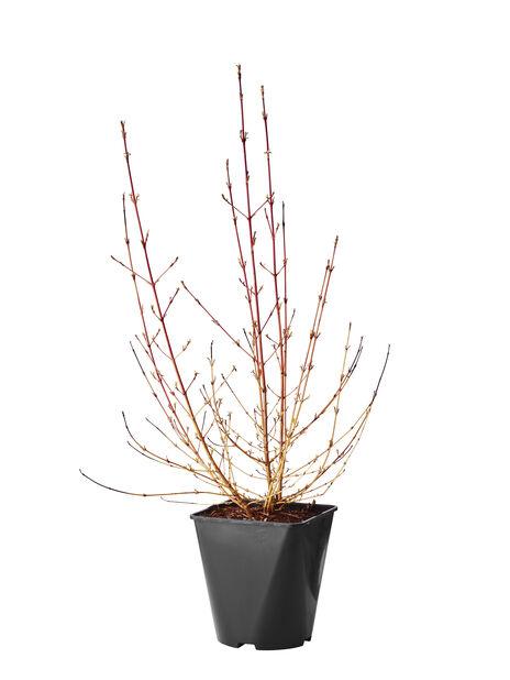 Skogskornell 'Midwinter Fire' , Höjd 40 cm, Vit