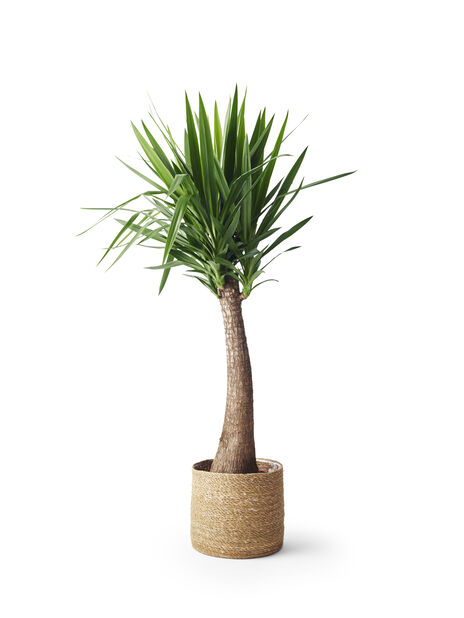 Yuccapalm, Grön