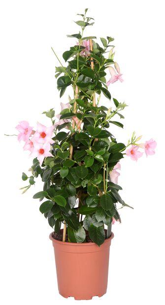 Bägarranka pyramid rosa