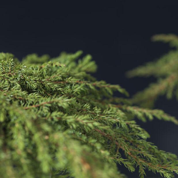 Dvärg-en 'Green Carpet', höjd +25cm