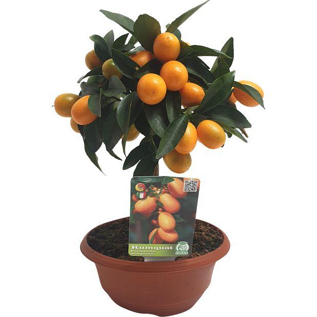 Kumquat i skål, Ø20 cm, Orange