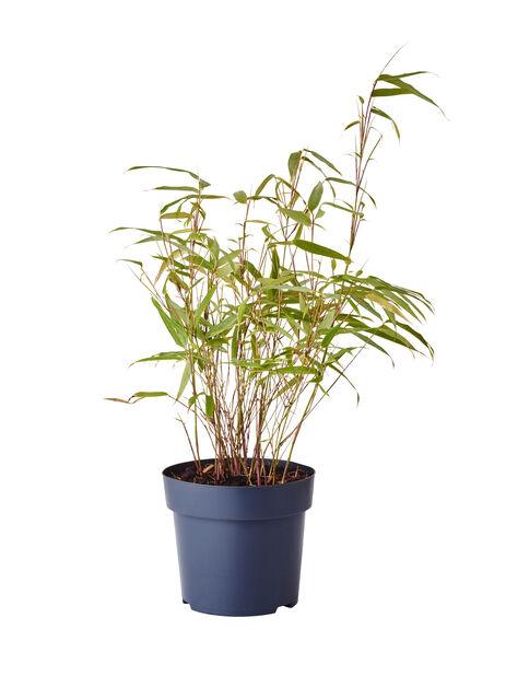 Bergbambu 'Rufa', Ø14 cm, Grön