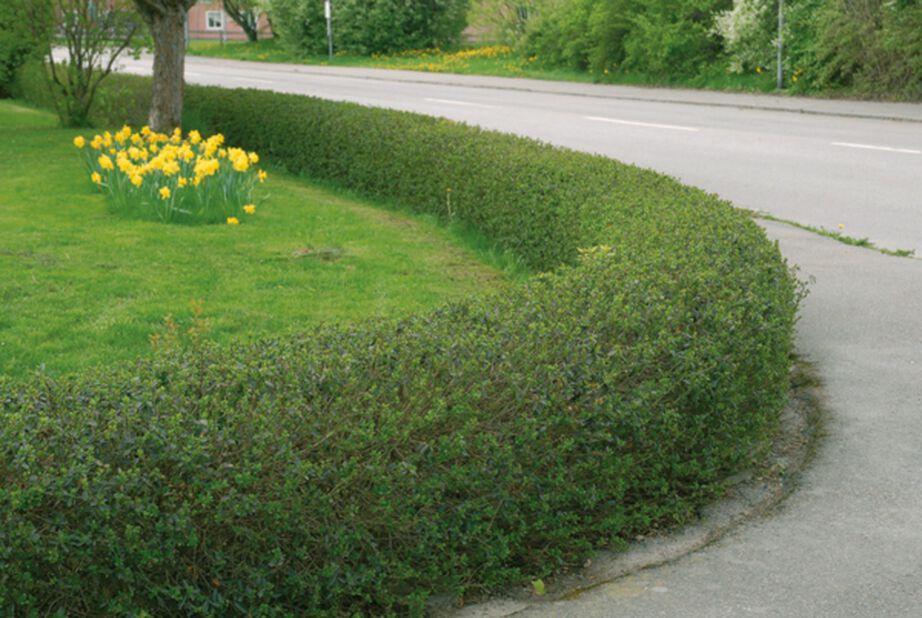 Liguster, Höjd 50 cm, Grön