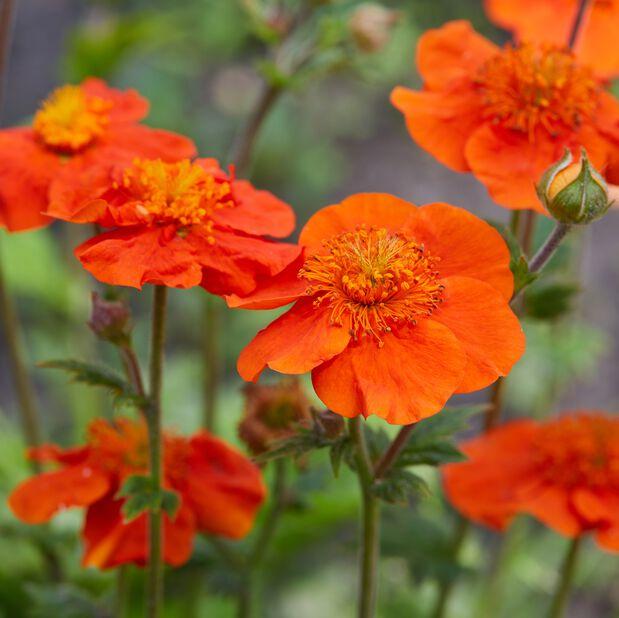 Nejlikrot 'Scarlet Tempest' , Ø19 cm, Orange