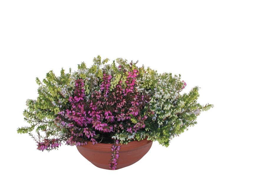 Vårljung i skål, Ø23 cm, Flerfärgad