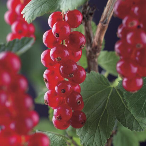 Röda vinbär 'Röda Holländska', Ø23 cm, Röd