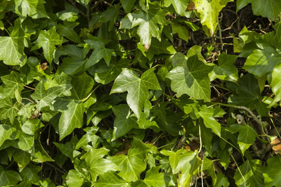 Storbladig murgröna 'Woerner', Höjd 90 cm, Grön