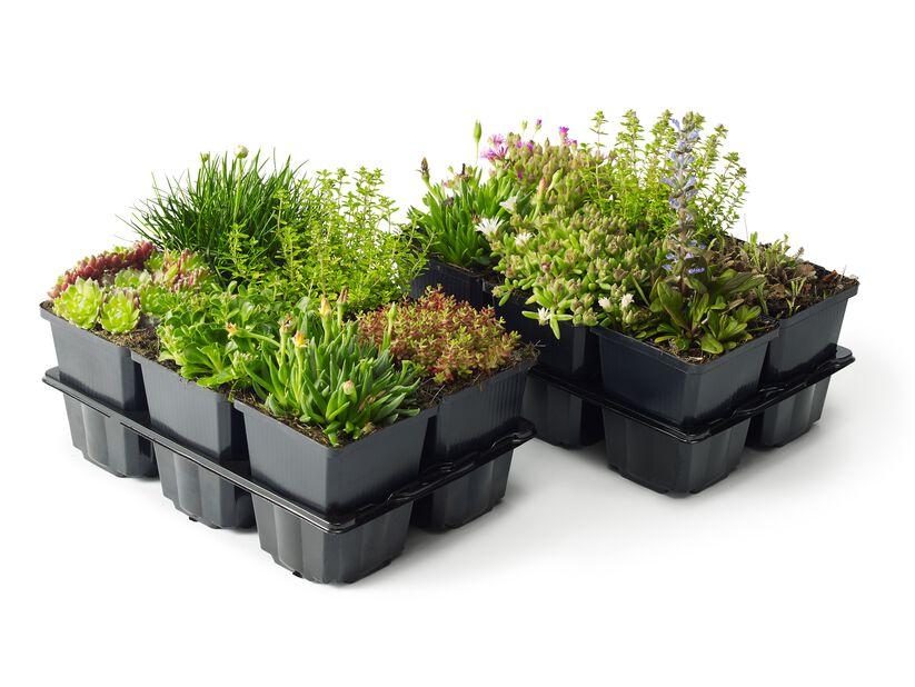Stenpartiväxter, 6-pack, Grön
