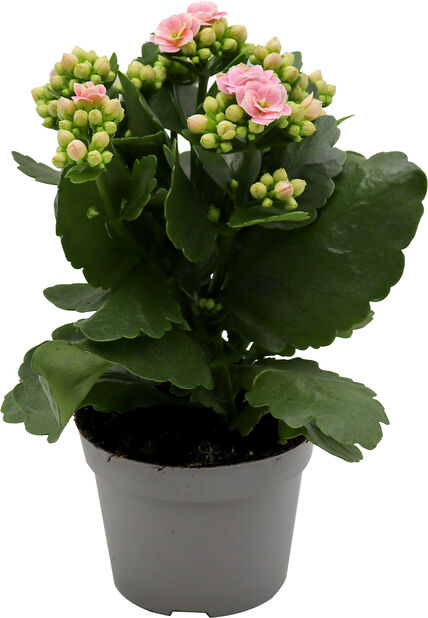 Kalanchoe, Höjd 25 cm, Rosa