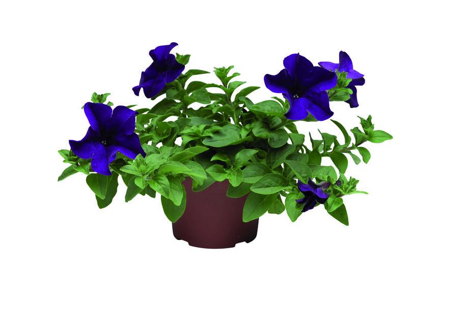 Petunia blå