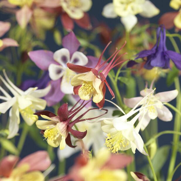 Akleja 'Kirigami', Höjd 40 cm, Flera färger