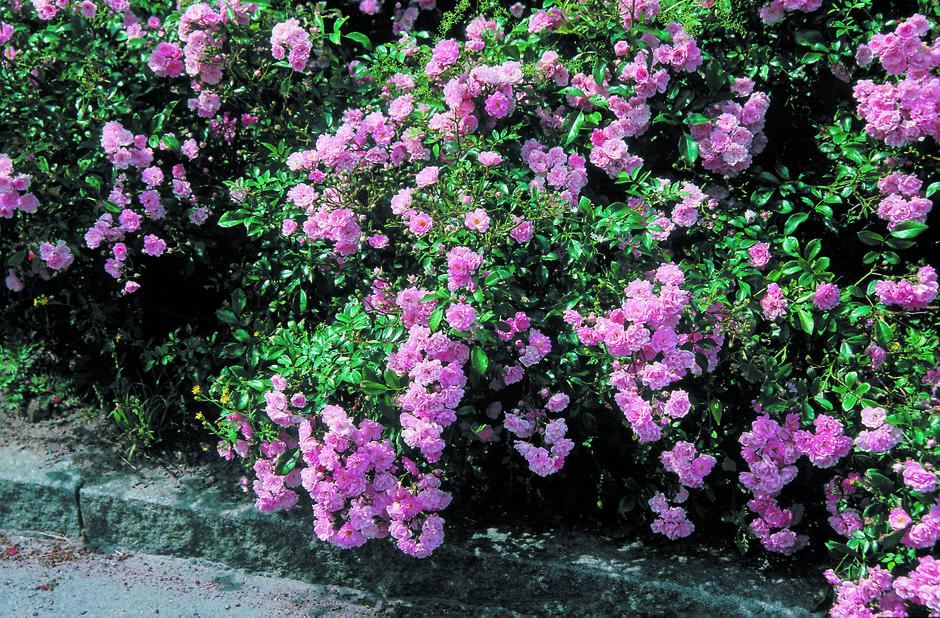 Marktäckande ros 'The Fairy', Höjd 25 cm, Rosa
