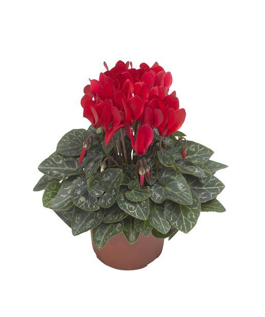 Cyklamen, Ø10.5 cm, Röd