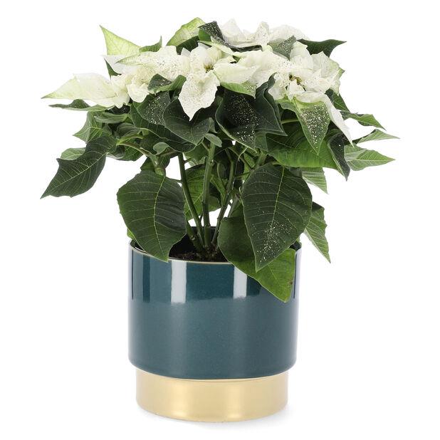 Julstjärna 'Princettia White', Höjd 27 cm, Vit