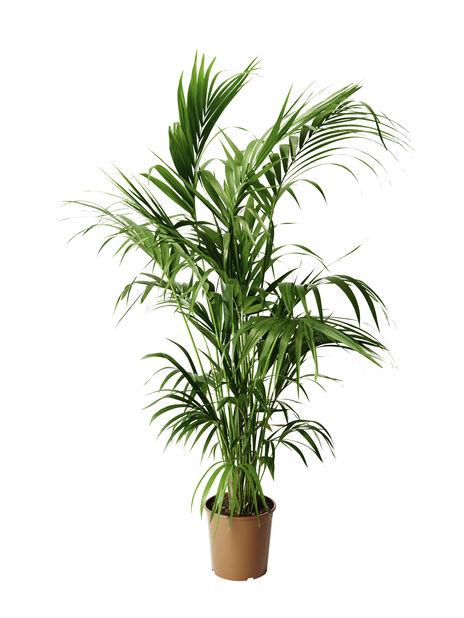 Förmakspalm, Höjd 180 cm, Grön