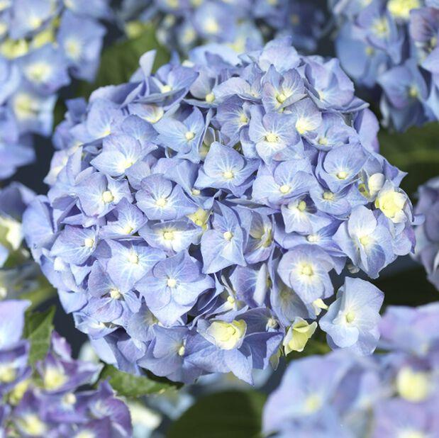 Trädgårdshortensia blå 4L