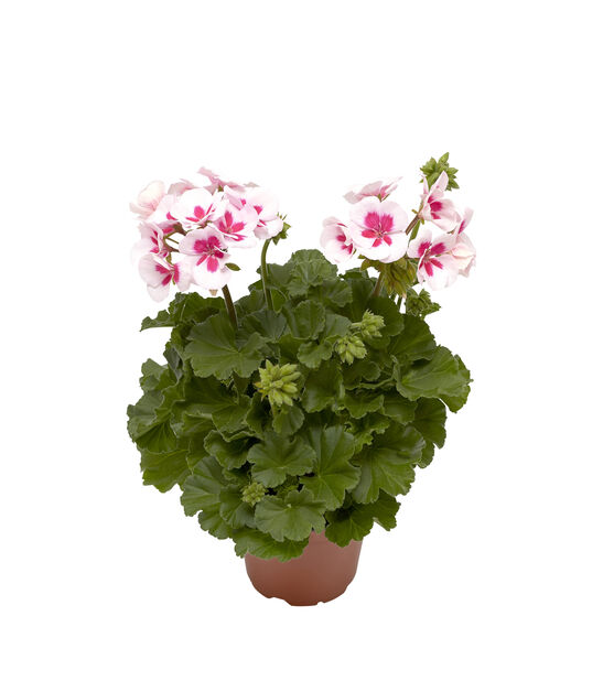 Pelargonium Calliope 'White Splash' 12 cm