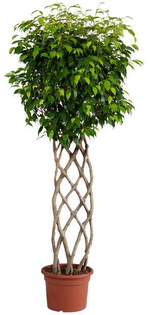 Fikus Wintergreen Petate