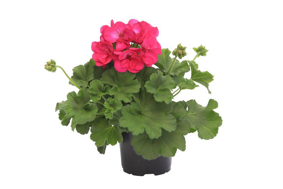 Pelargon Calliope 'Deep Rose', Ø12 cm, Rosa